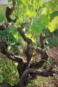 Cogito Wines - Natural Wine